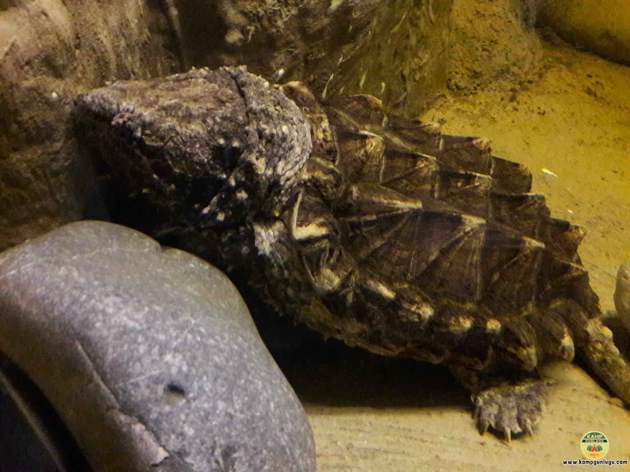 Timsah Kaplumbağası