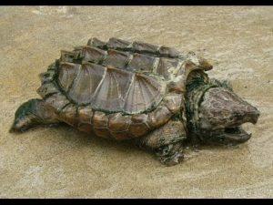 Timsah Yiyen Kaplumbağa