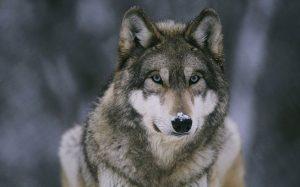 Hayvanlar ve Korunma – Kurt ve Köpekler